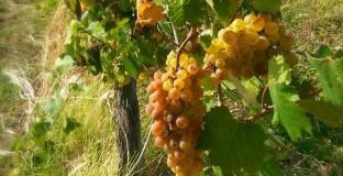 Vinograd kat